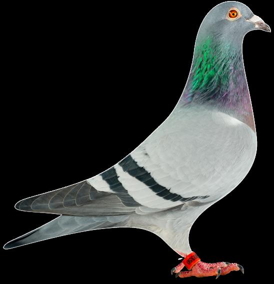 Home - Thoné Pigeons
