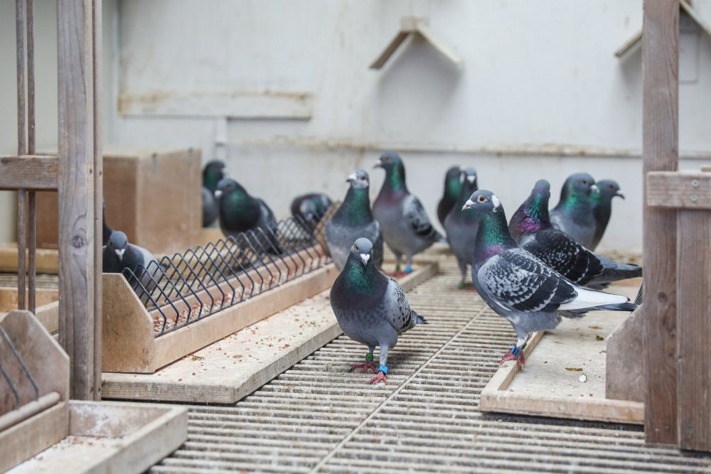 Long distance pigeons